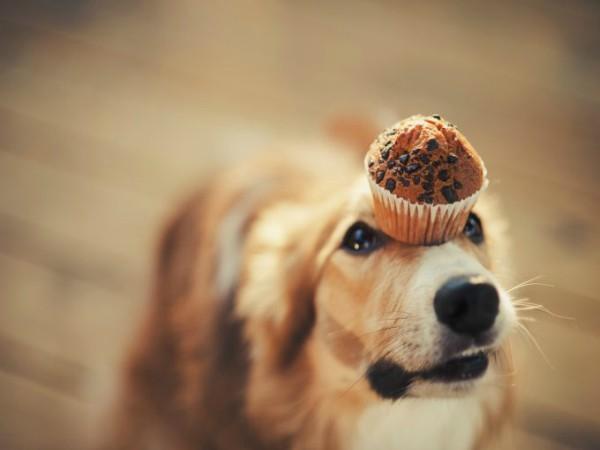 Cães podem comer chocolate?